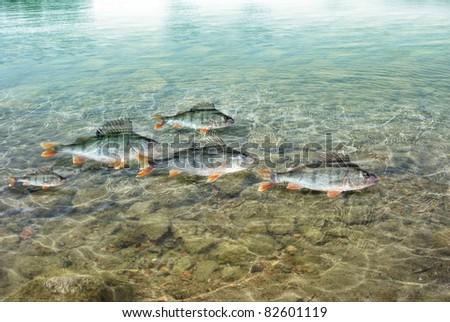 swimming in water predatory perch - stock photo