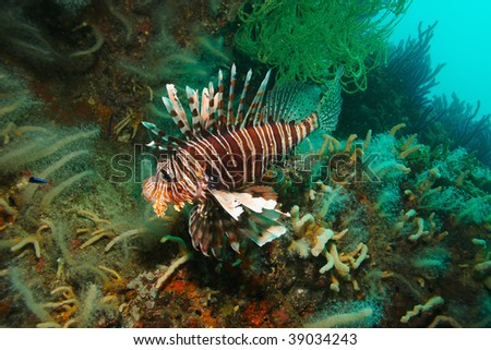 swimming lion fish on coral reef - stock photo