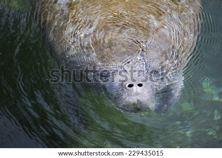 Swimming manatee of Florida state, America.  - stock photo