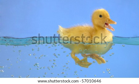 swimming nestling of duck on blue background