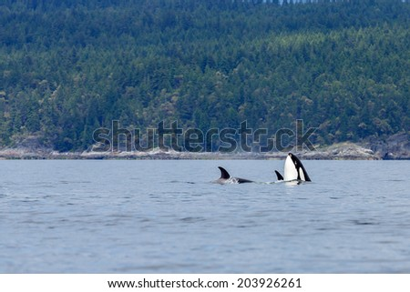 Swimming orca's near the coastline at Lund Canada.