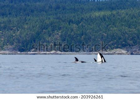 Swimming orca's near the coastline at Lund Canada. - stock photo