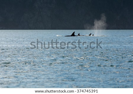Swimming Orcas - stock photo