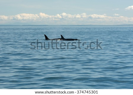 Swimming Orcas Fins - stock photo