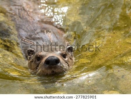 Swimming otter - stock photo