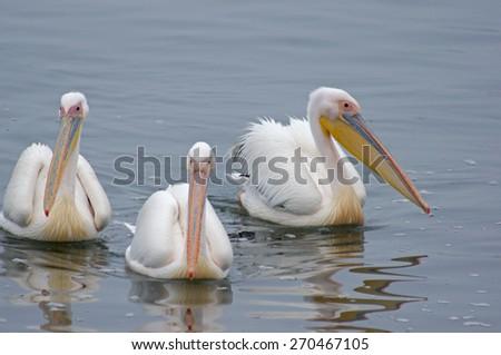 Swimming pelicans - stock photo