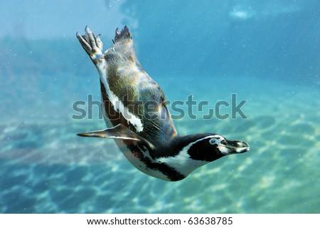 swimming penguin - stock photo