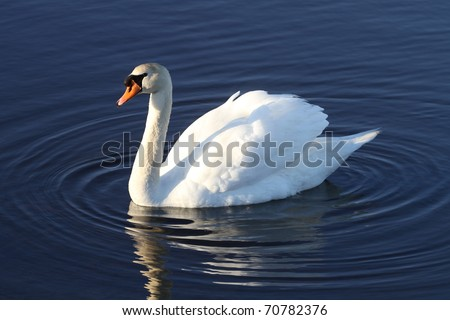 Swimming swan causing beautiful ripples in a pond