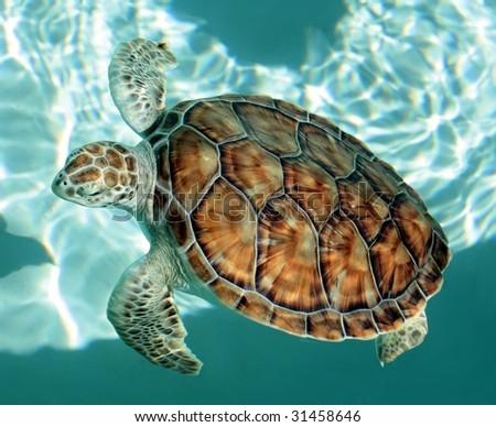 Swimming turtle - stock photo