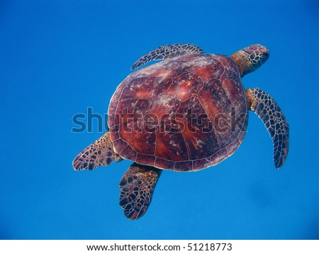 swimming turtle - stock photo