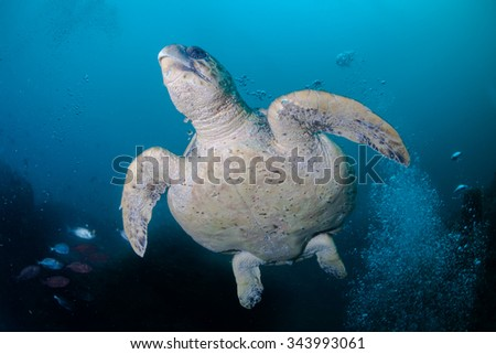 swimming turtle with bubbles - stock photo