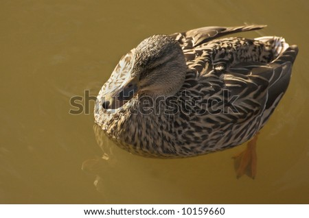 Swimming wild duck