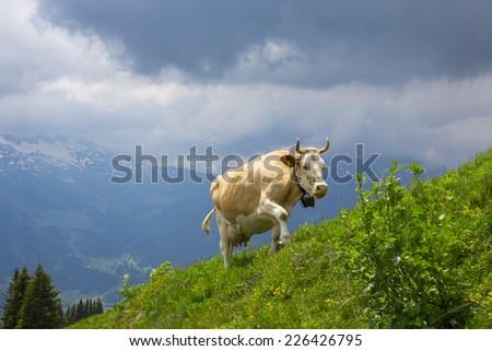 Swiss  Brown milk cows in a pasture in the alp,  Switzerland Interlaken - Lauterbrunnen Selective Focus - stock photo