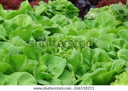 Swiss Chard hydroponics in vegetable garden - stock photo
