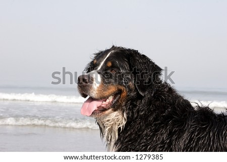 Swiss dog - stock photo