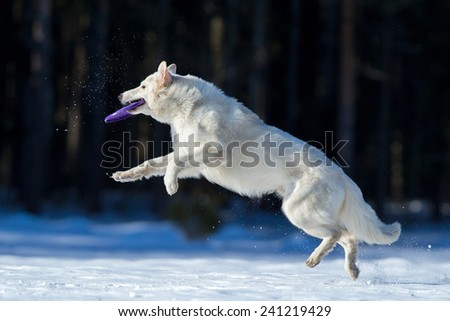 Swiss Shepherd in winter, playing with frisbee. - stock photo