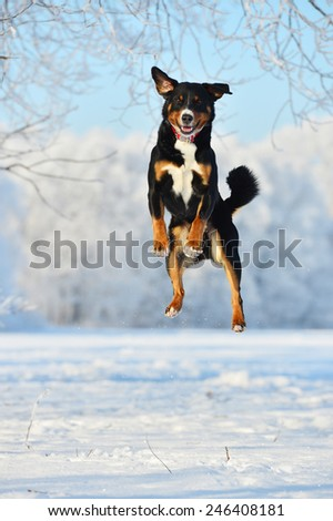 Swiss tricolor dog jumps on the snow - stock photo