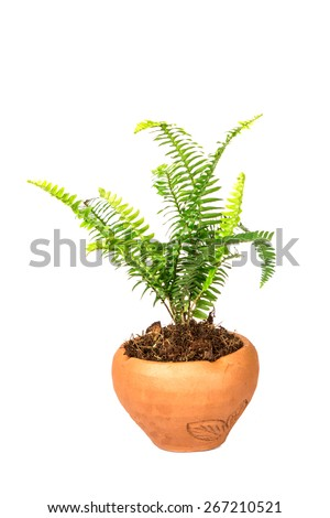 Sword Fern or Fishbone Fern in flower pot on the white background - stock photo