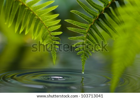 Sword Fern (Polystichum munitum) with dew drop above pool of water - stock photo