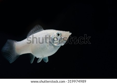 Swordtail white color females in the dark (selective focus)