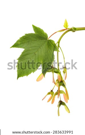 Sycamore, Acer pseudoplatanus, leaf and seeds isolated against white - stock photo