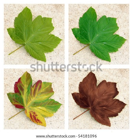 Sycamore leaf - the colours of the four seasons - stock photo