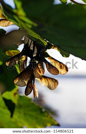 Sycamore seeds on a tree  - stock photo
