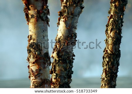 sycamore tree bark curling on trunks closeup