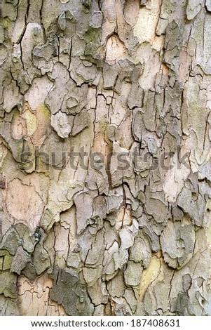 sycamore tree bark pattern thickening - stock photo
