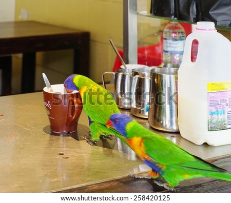 SYDNEY, AUSTRALIA --18 DECEMBER 2014-- Editorial: A pair of multicolored Australian lorikeet (parakeet) birds are hanging out at an urban coffee bar in Sydney, New South Wales. - stock photo