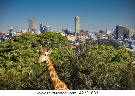 Sydney skyline from the taroonga zoo with a girafe - stock photo