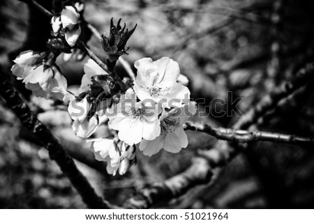 Symbol of Japanese culture. Cherry tree  blossoms in black and white.