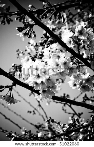 Symbol of Japanese culture. Cherry tree  blossoms in monochrome. - stock photo