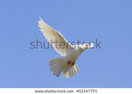 Symbol of peace is flying in the sky,White dove flying on a background of blue sky, a symbol of peace and harmony, bible bird - stock photo