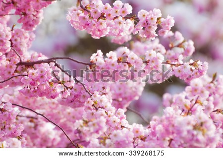 Symbol of springtime; Twigs full of beautiful pink cherry blossoms - stock photo