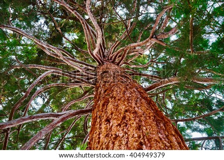 Symbol of strength and power, growing in the United States / Mammoth tree with many branches skyward / Giant tree of United States - stock photo