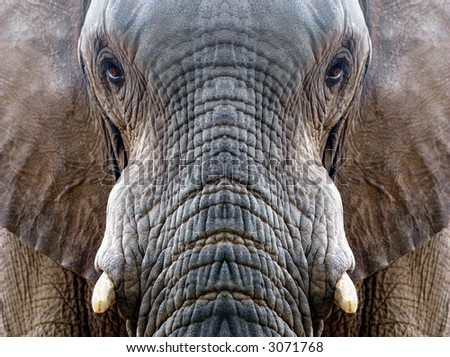 Symmetrical elephant profile - focus on central portions - stock photo