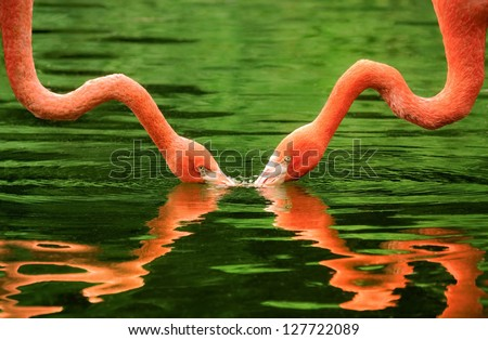 Symmetrical image of 2 flamingos with their necks reflected on the water - stock photo
