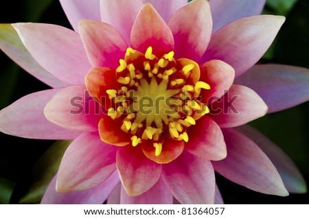 symmetrical lotus for conceptual photo - stock photo