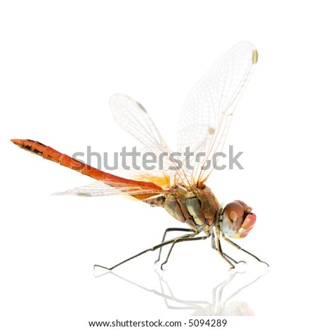 Sympetrum fonscolombei in front of a white background - stock photo