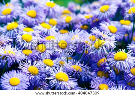 Symphyotrichum novi-belgii also known as New York Aster is the type species for Symphyotrichum, a genus of the family Asteraceae - stock photo