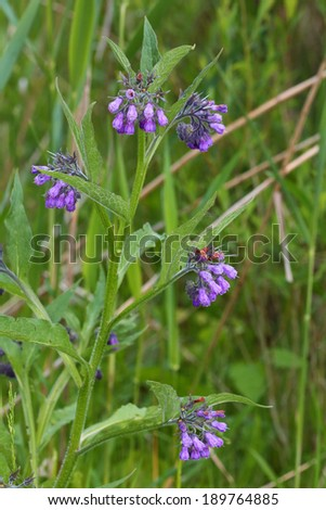 Symphytum officinale, Common Comfrey