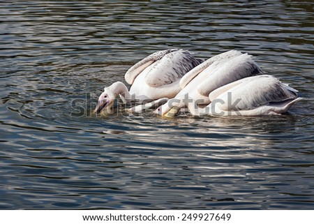 Synchronised scooping. Three splendid pelicans practice their teamwoirk as they hunt for fish. - stock photo