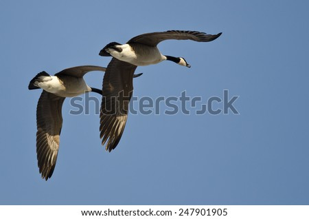 Synchronized Flying Demonstration by a Pair of Canada Geese - stock photo