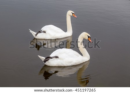 Synchronous swans couple bracing their legs upwards from the pond as a part of their mating ritual. Authentic farm series.