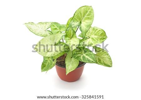 Syngonium variegated decorative flower isolated on white background - stock photo