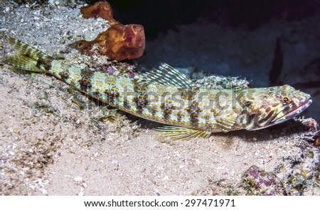 Synodus intermedius, the sand diver, is a species of fish in the lizardfish family, Synodontidae