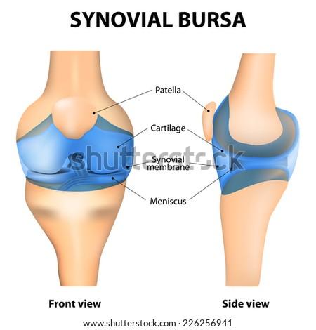 Synovial Joint Human Anatomy Stock Illustration 226256941 - Shutterstock