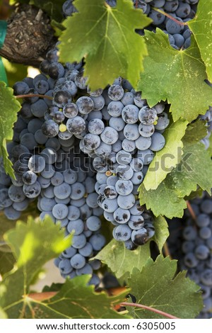 Syrah wine grapes hanging from the trellis in the vineyard - stock photo