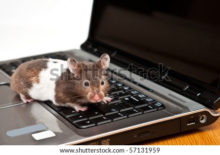 syrian hamster crawling on top of a laptop - stock photo